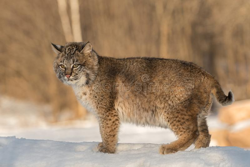 Bobcat Lynx-rufus Stände, die heraus schauen stockfoto