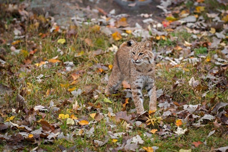 Bobcat Lynx rufus Stands in Autumn Leaves foto de stock