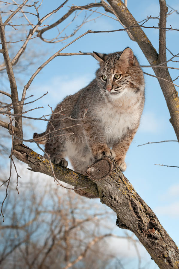 Bobcat (Lynx Rufus) Stands On Branch Looking Left Stock Images