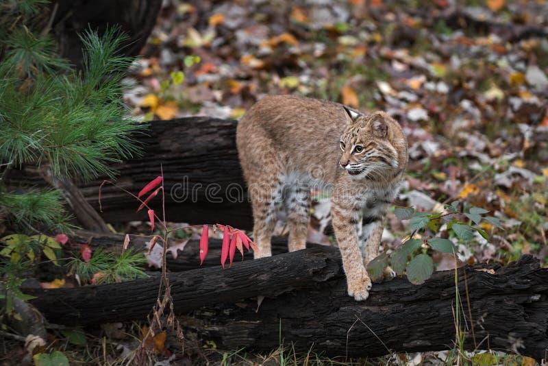 Bobcat Lynx rufus Stands på loggar som ser ut till vänster höst royaltyfri foto
