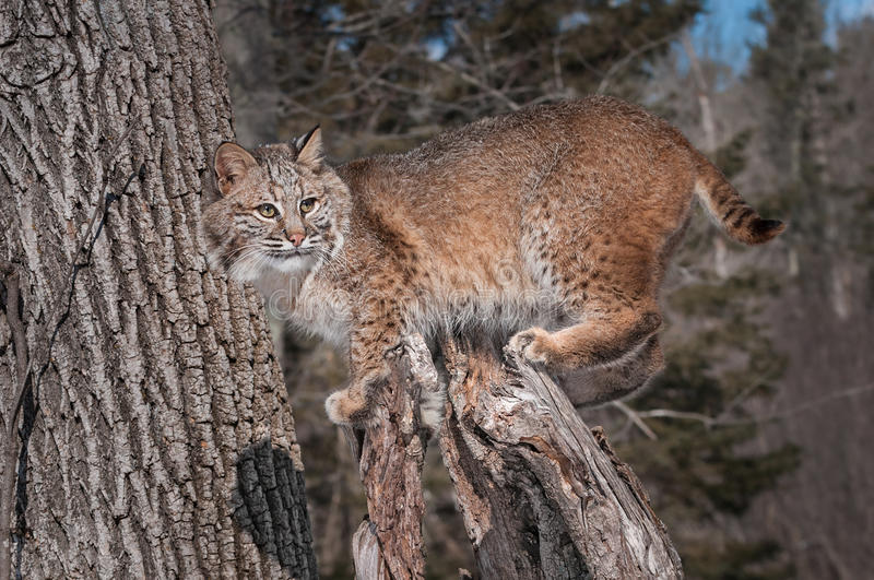 Download Bobcat (Lynx Rufus) Stands On Stump Stock Photo - Image of outside, natural: 29880398