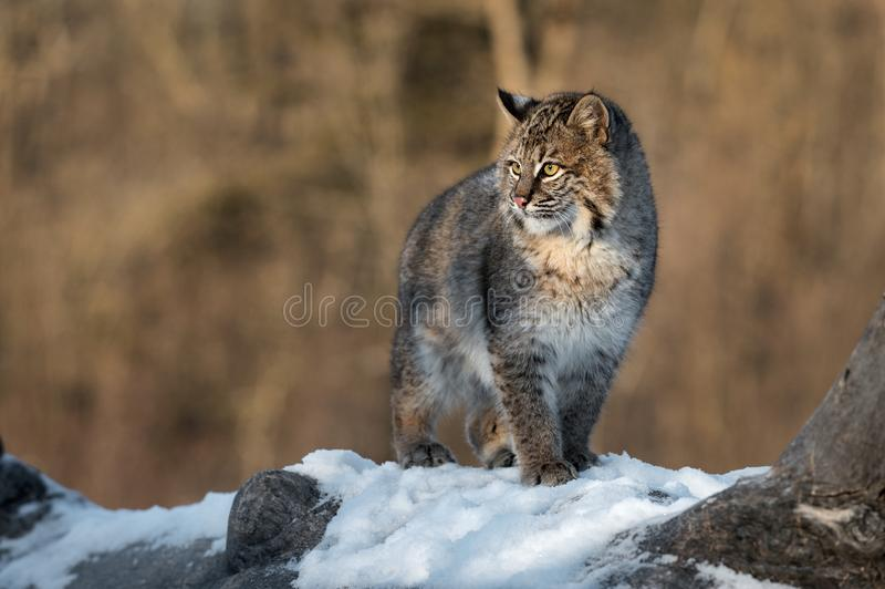 Bobcat Lynx-rufus untersucht nach links Sun lizenzfreies stockbild