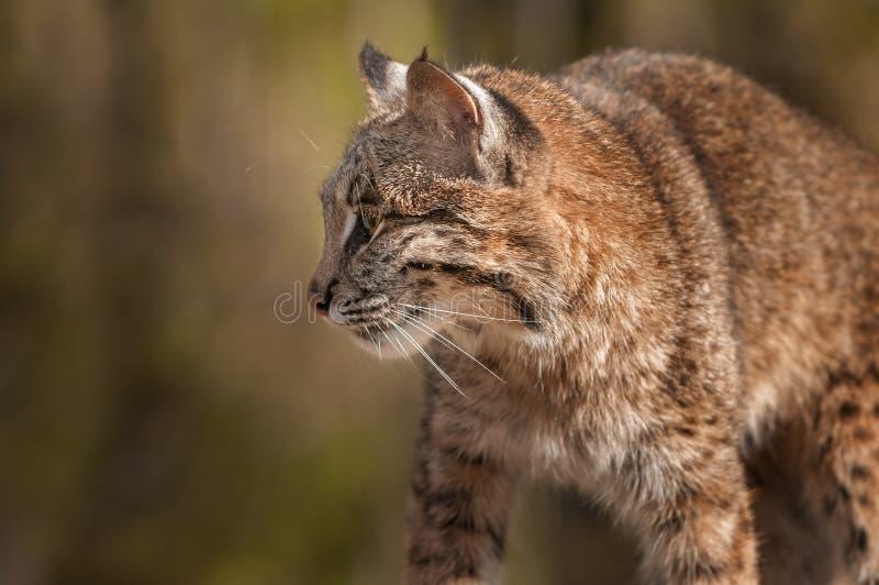 Bobcat Lynx rufusprofil royaltyfri bild
