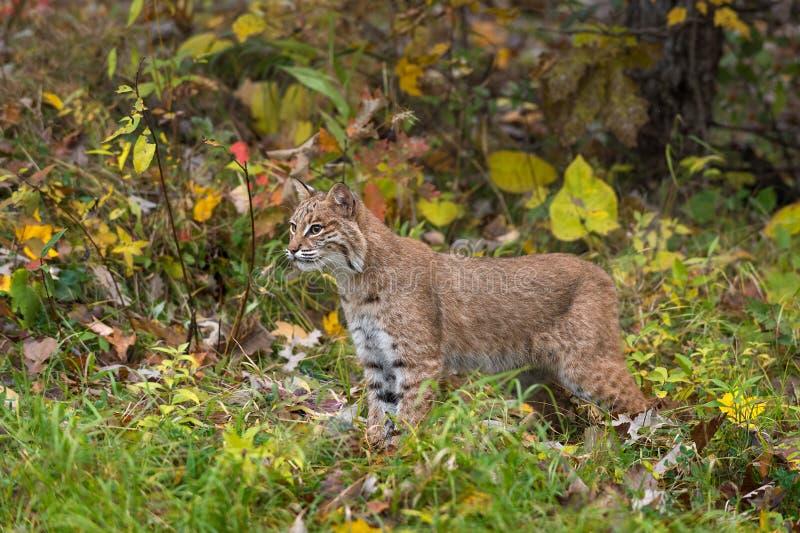 Bobcat Lynx-rufustribunes in Autumn Grasses stock afbeelding