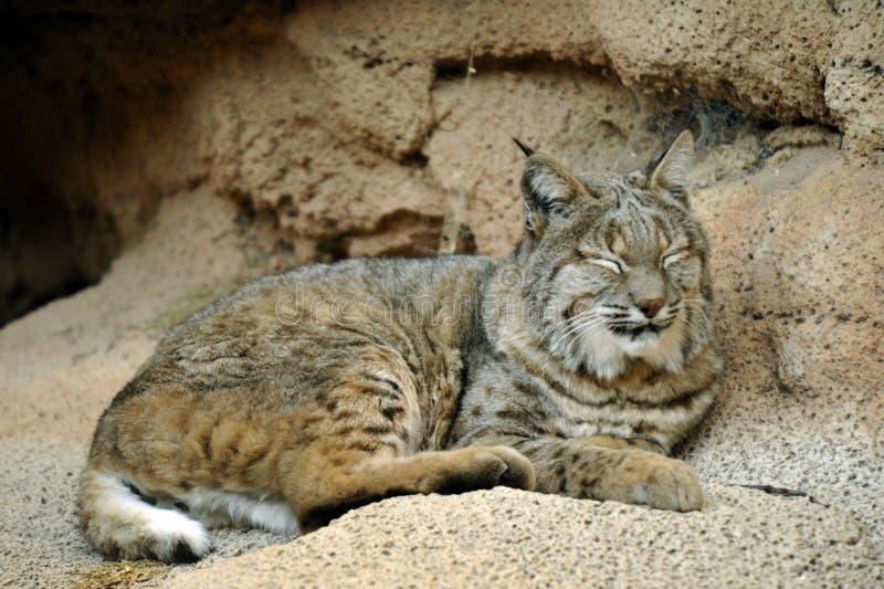Bobcat Napping Close Up Monochromatic arkivbild
