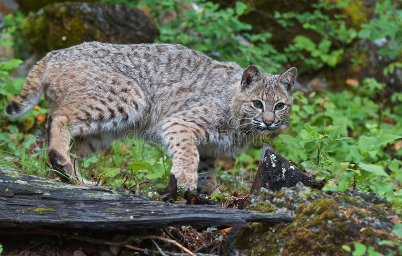 Young Bobcat on the Hunt royalty free stock photo