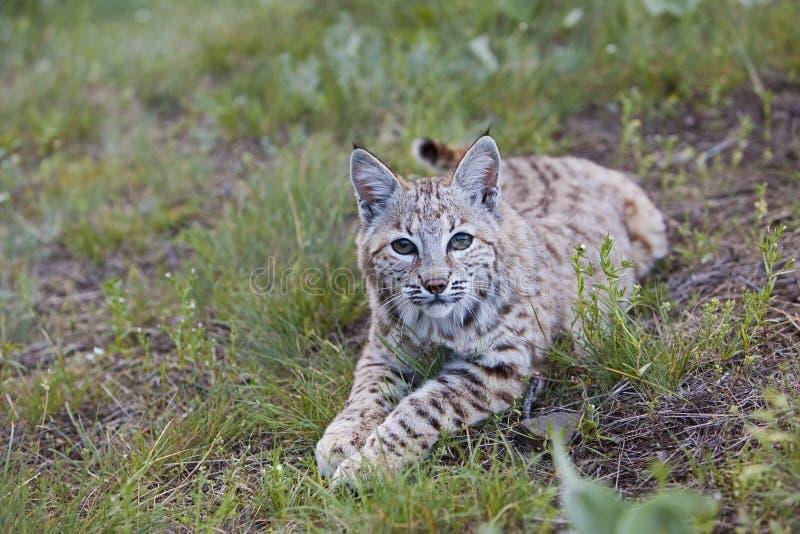 Bobcat på rest royaltyfria foton