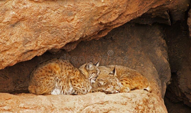 Download Bobcat Pair stock image. Image of gold, animal, nature - 29017437