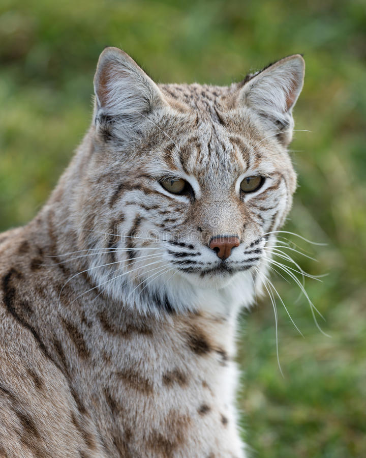Bobcat Portrait stock foto