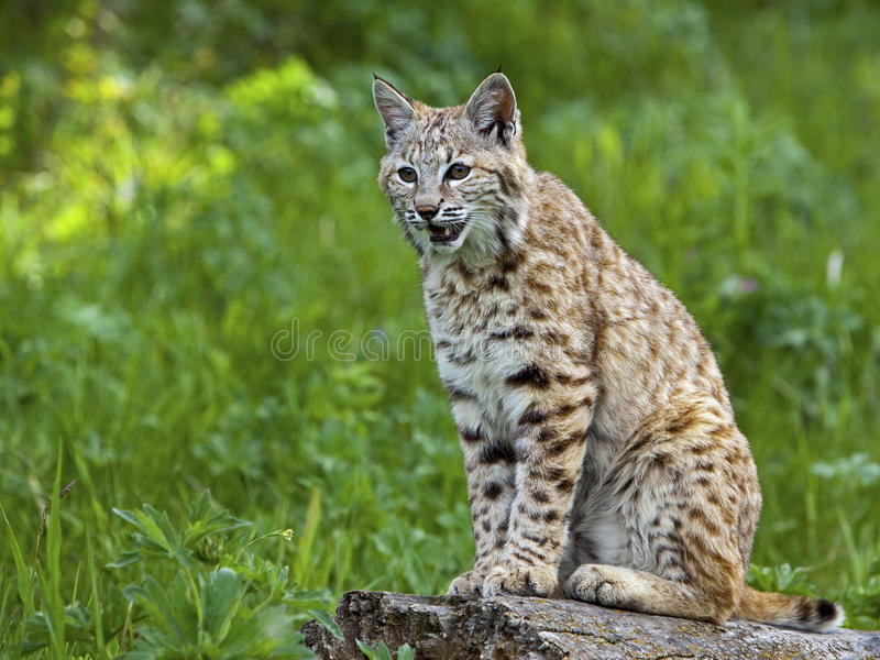 Download Bobcat at rest stock photo. Image of open, wild, mouth - 27190072