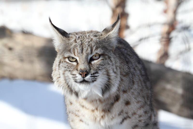 Download Bobcat rufus λυγξ στοκ εικόνες. εικόνα από αιλουροειδής - 17616542