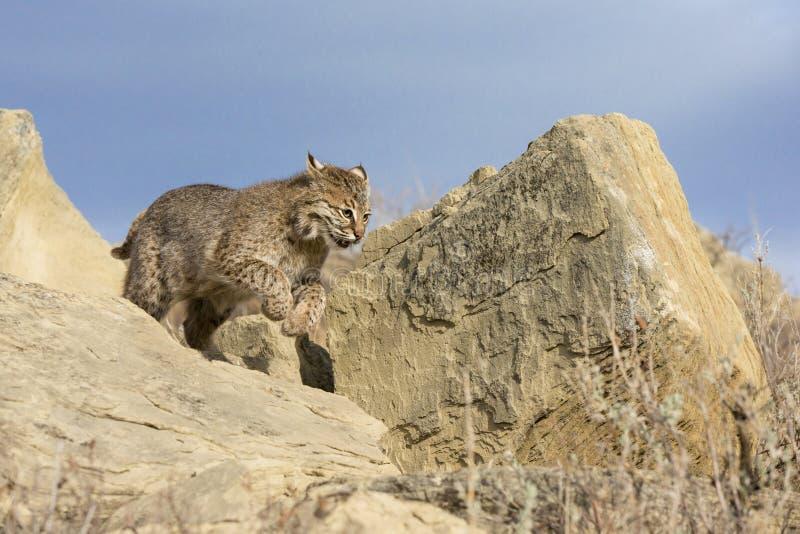 Bobcat running towards prey. Bobcat running over rocks to catch prey royalty free stock photography