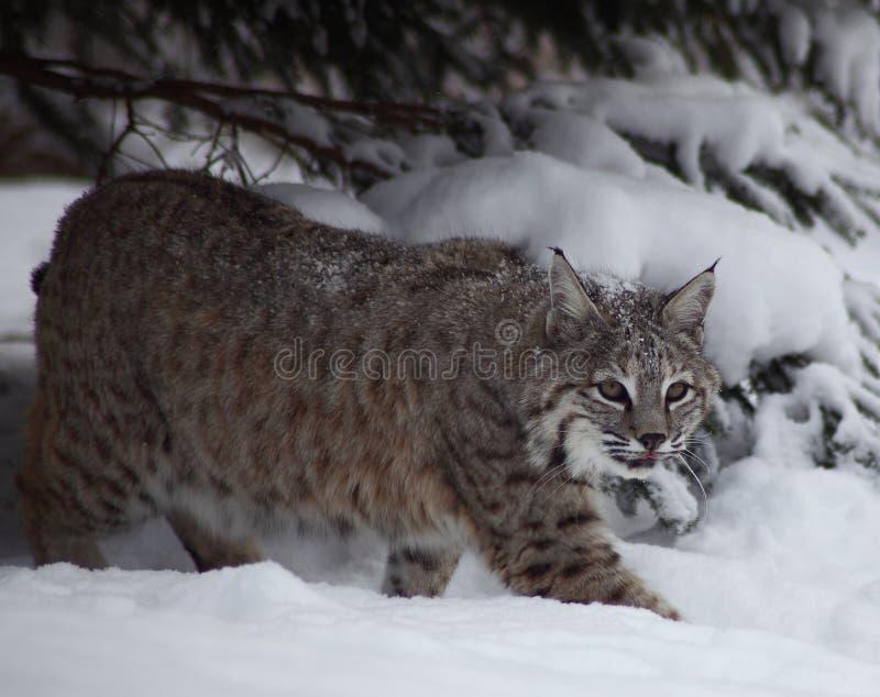 Bobcat in sneeuw