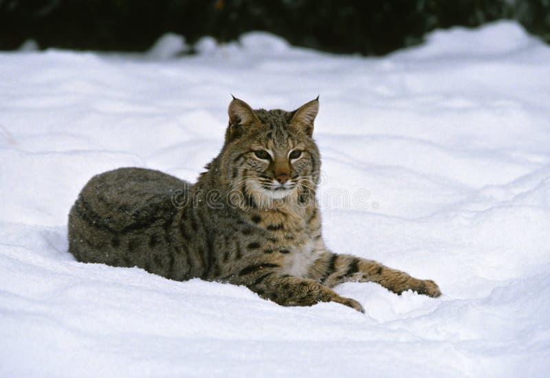 Download Bobcat in Snow stock photo. Image of hunter, bobcat, snow - 10183896