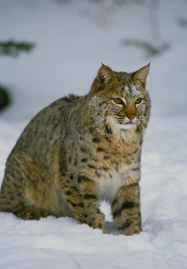 Download Bobcat in Snow stock photo. Image of outdoors, winter - 15048364