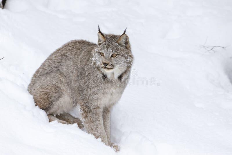 Bobcat In The Snow fotografia de stock royalty free
