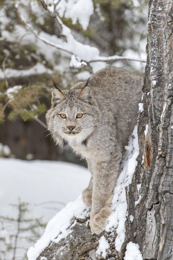 Bobcat In The Snow imagens de stock