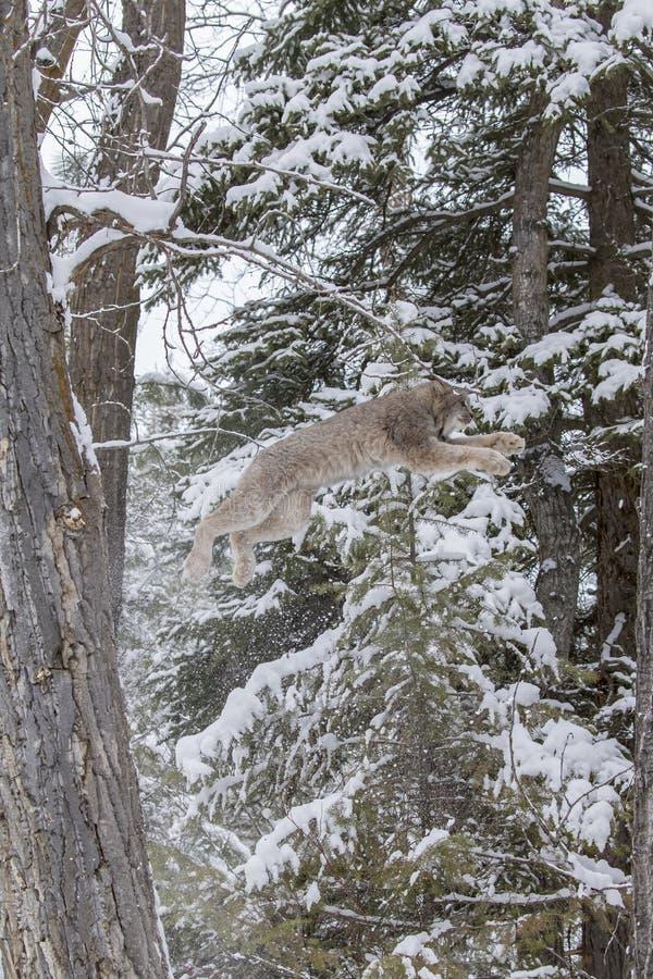 Bobcat In The Snow foto de stock royalty free