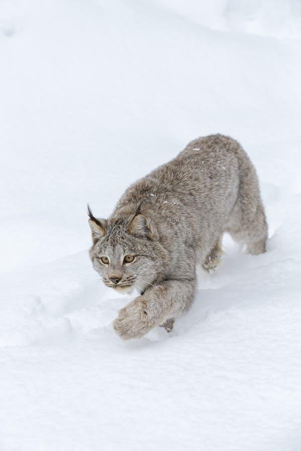 Bobcat In The Snow fotos de stock