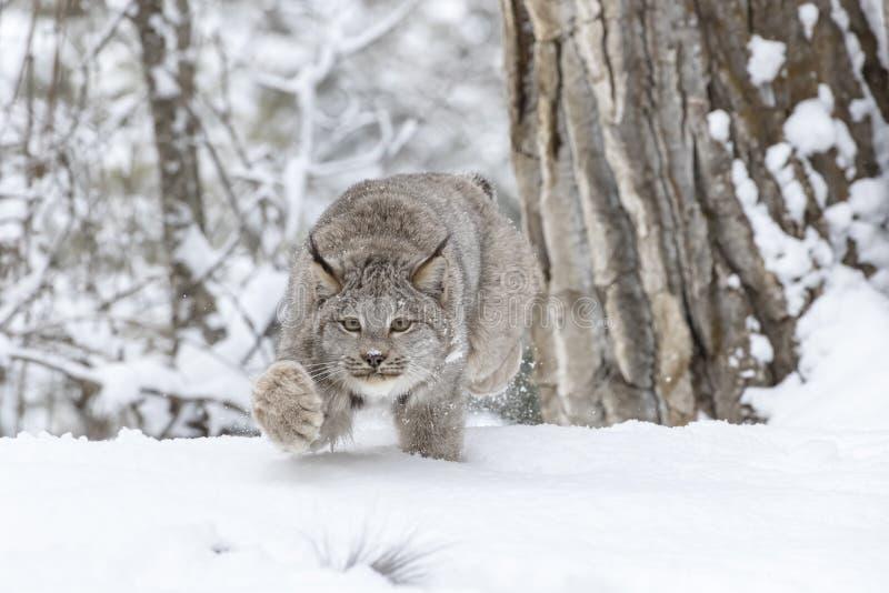 Bobcat In The Snow royalty-vrije stock foto