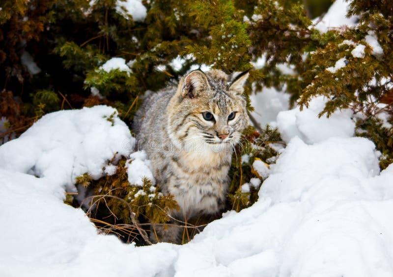Bobcat in the snow. stock image