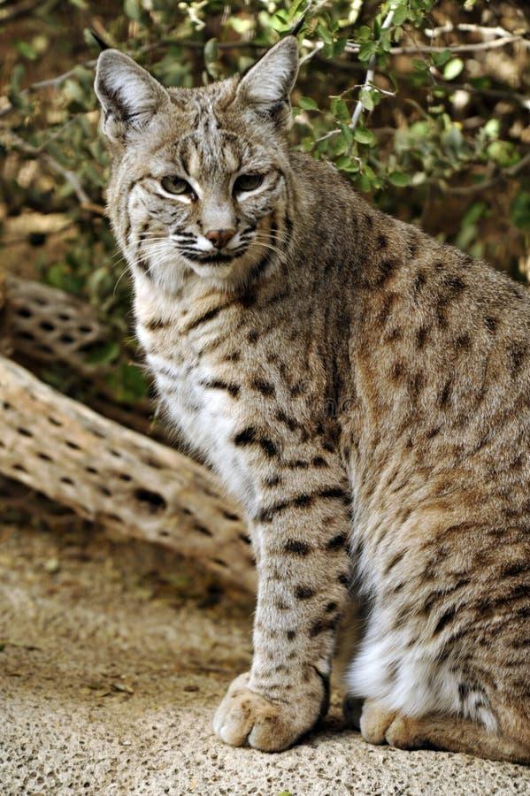 Bobcat Spots och tafsar arkivbild