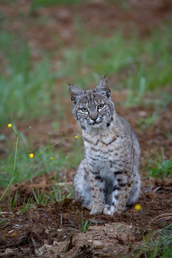 Download Bobcat in Spring stock photo. Image of animal, wild, wildcat - 5418794