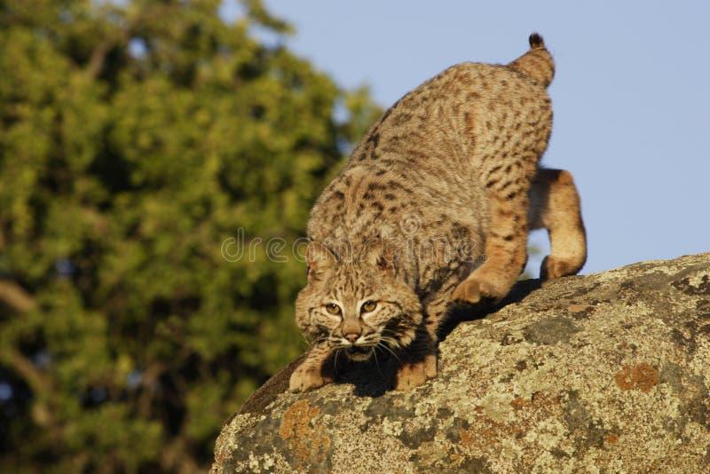 Download Bobcat Springing From Boulder Stock Photo - Image: 5059548