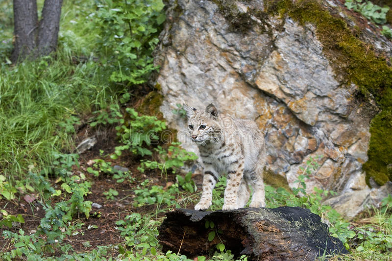 Download Bobcat Standing on a Log stock image. Image of cats, grass - 24581755