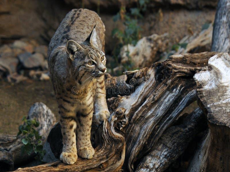 Bobcat Standing op Dood Logboek royalty-vrije stock foto's