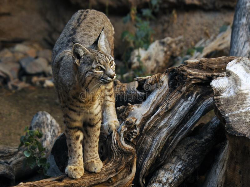 Bobcat Standing sul ceppo morto fotografie stock libere da diritti