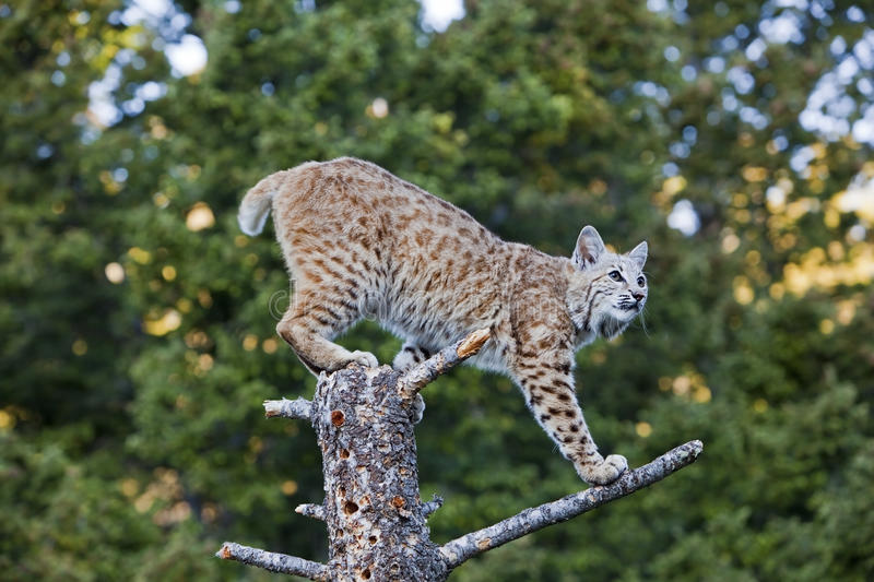 Bobcat On Stump Royalty Free Stock Images