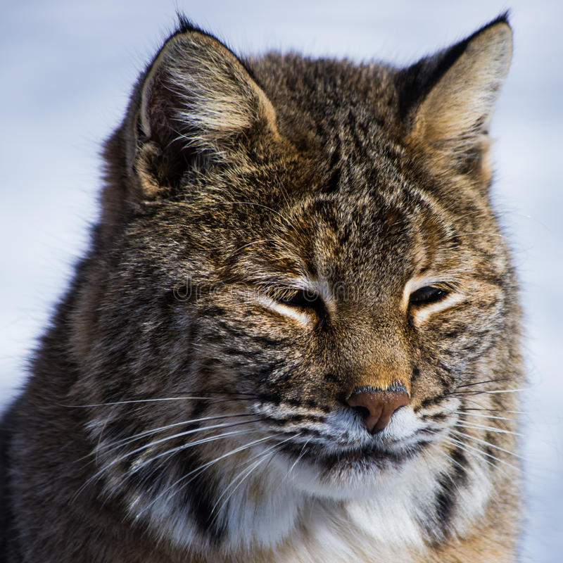 Download Bobcat stock image. Image of north, rufus, wildcat, united - 30174635