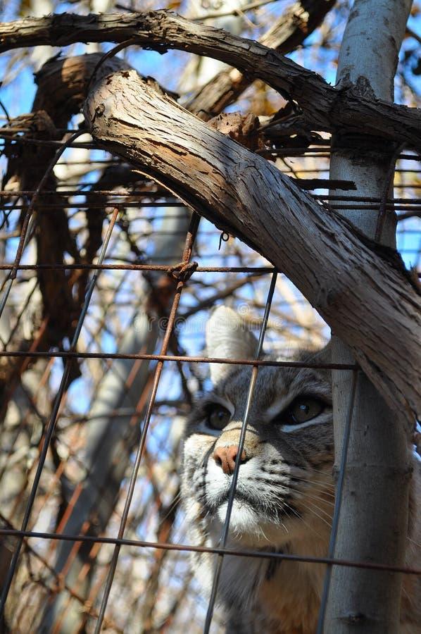 Bobcatträn Arkivfoton