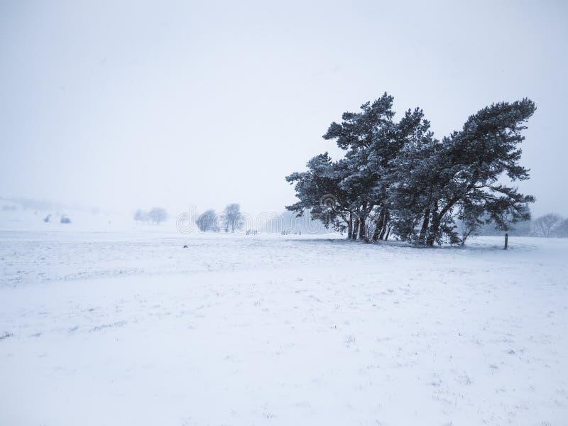 Bobinas cobertos de neve pequenas da floresta durante o inverno foto de stock royalty free