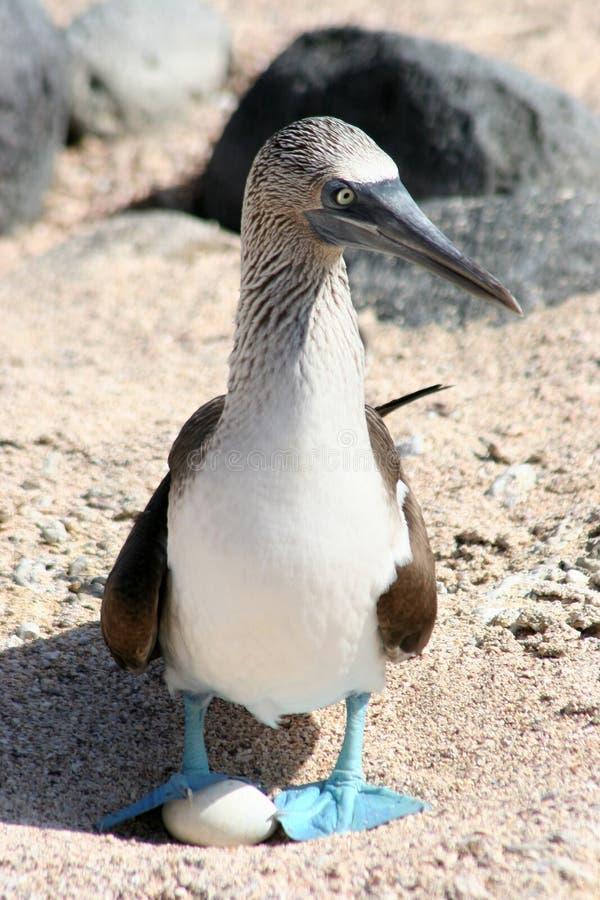 bobo Azul-footed, las Islas Gal3apagos imagen de archivo