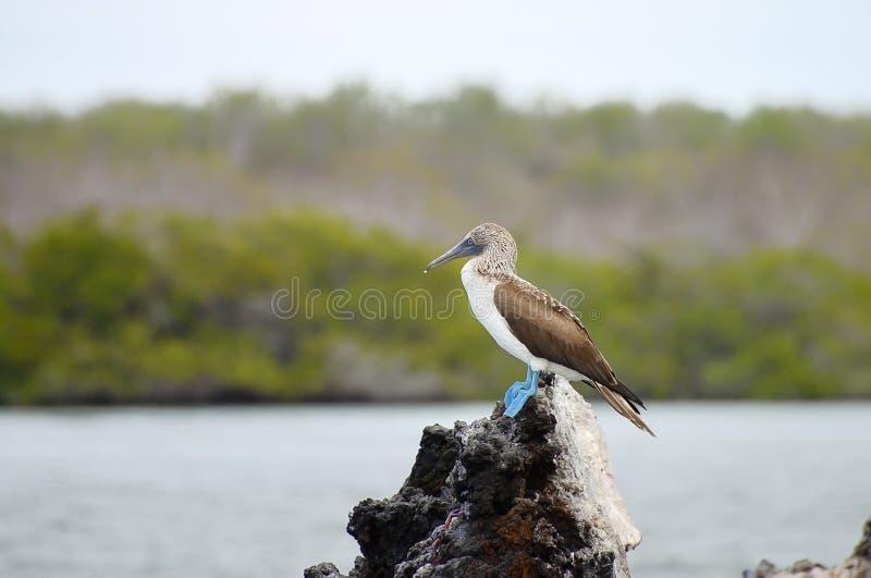 Bobo con base azul - las Islas Galápagos - Ecuador fotografía de archivo