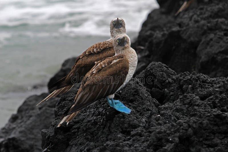 Bobo con base azul, nebouxii del sula, las Islas Galápagos imagen de archivo libre de regalías