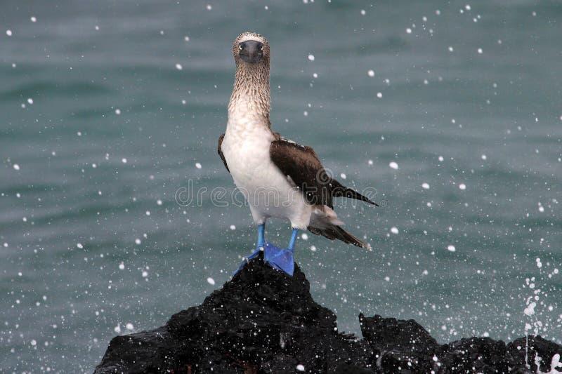 Bobo con base azul, nebouxii del sula, las Islas Galápagos imagen de archivo