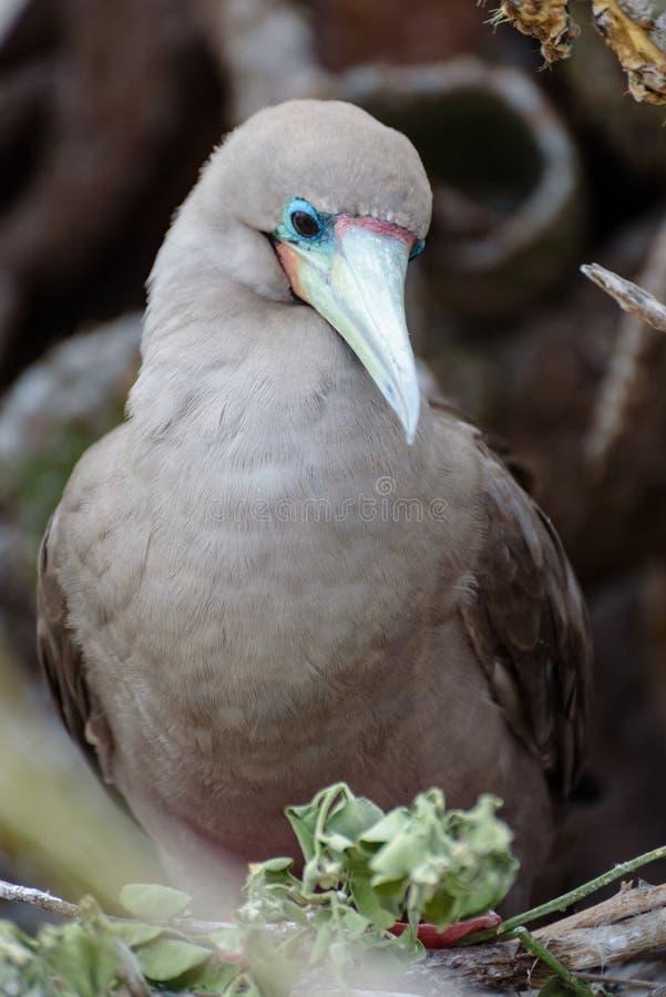 Bobo con base rojo Sula Sula, Darwin Bay, Genovesa, isla de las Islas Galápagos, Ecuador, Suramérica fotos de archivo libres de regalías