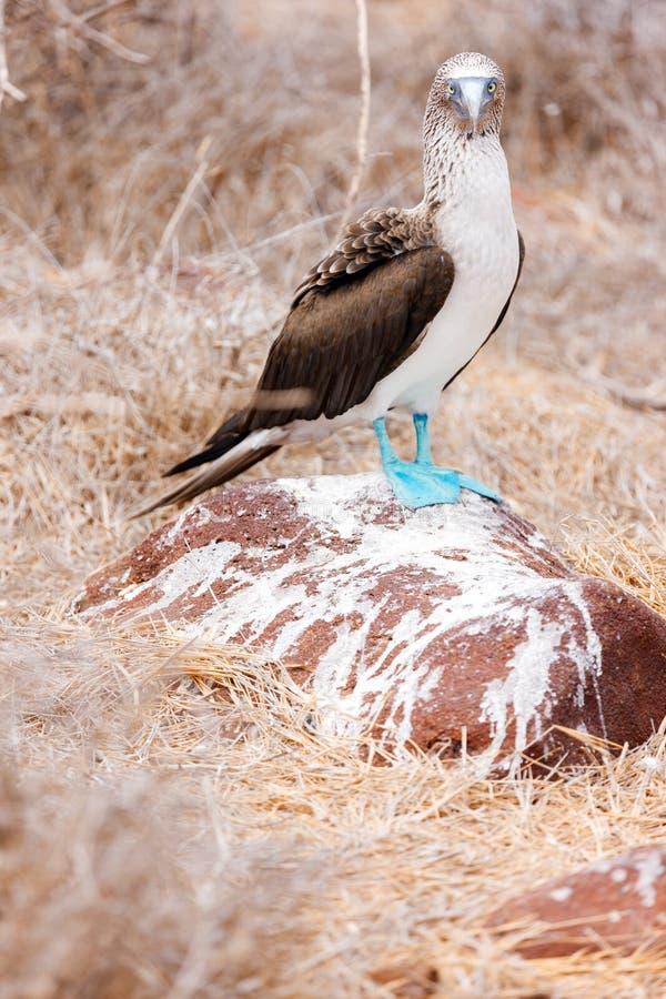 Bobo footed azul foto de archivo libre de regalías