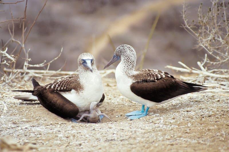 bobos Azul-footed, islas de las Islas Gal3apagos, Ecuador imágenes de archivo libres de regalías