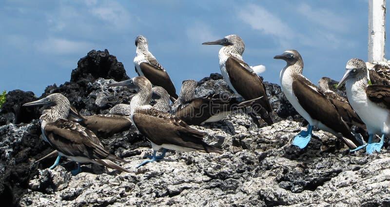 Bobos con base azules en la isla de las Islas Galápagos fotos de archivo libres de regalías