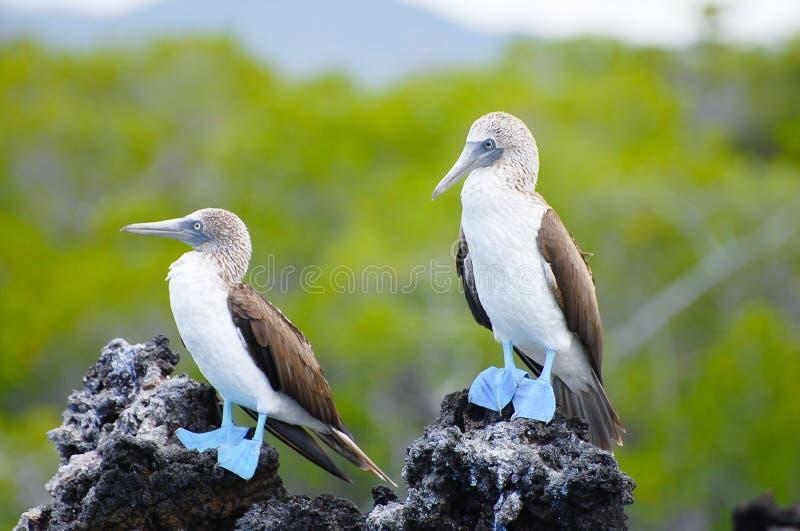 Bobos con base azules - las Islas Galápagos - Ecuador imagen de archivo