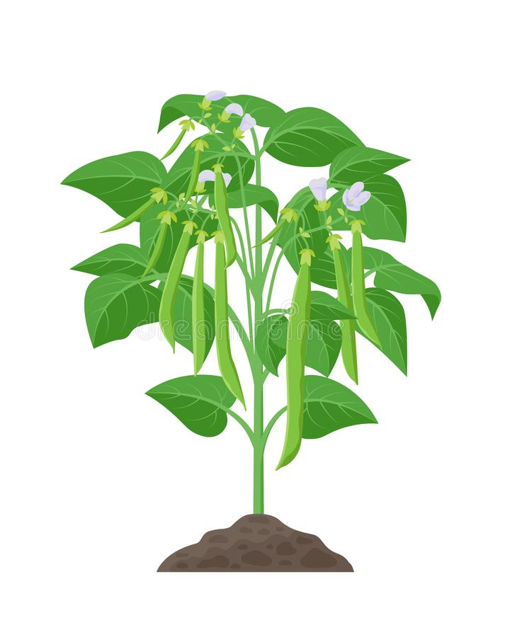 Bobowa dojrzałej rośliny wektoru zapasu ilustracja w płaskim projekcie Fasole r od ziemi z fasolka szparagowa strąkami odizolowyw ilustracja wektor