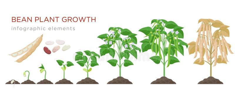 Bobowej rośliny przyrost reżyseruje infographic elementy w płaskim projekcie Zasadzający proces fasole od ziaren kiełkuje dojrzał ilustracja wektor