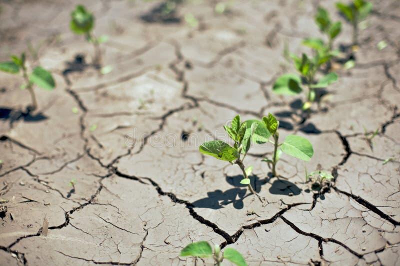 bobowej uprawy suche rolnego pola rzędu flance ja zmagają się zdjęcie royalty free