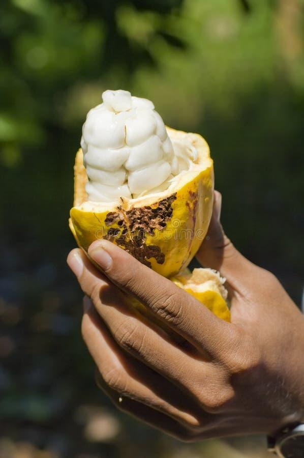 bobowy cacao obrazy stock