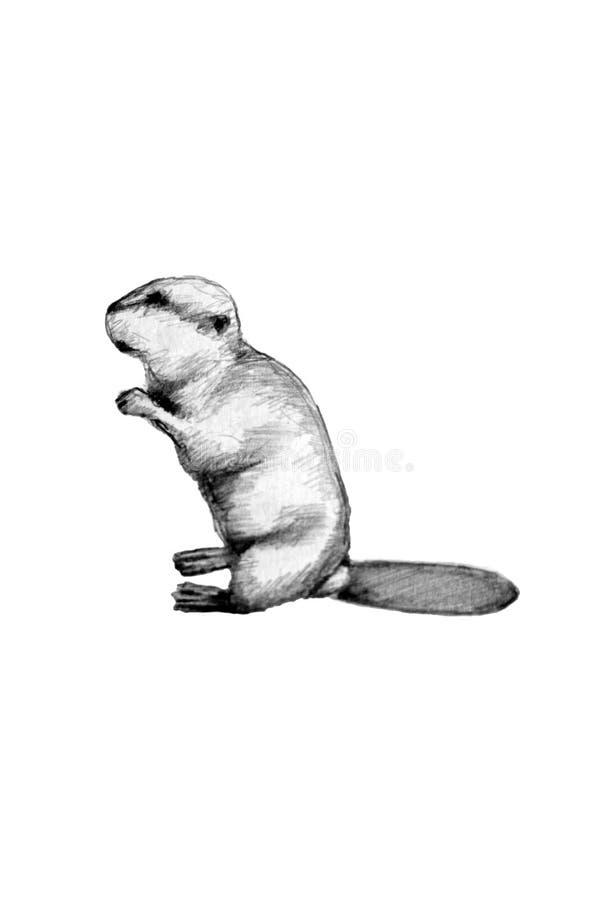 bobra europejczyk ilustracji