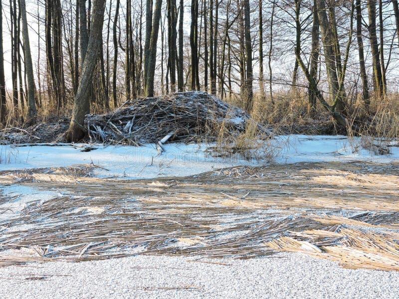 Bobra utrzymania miejsce na rzeki wybrzeżu, Lithuania fotografia royalty free